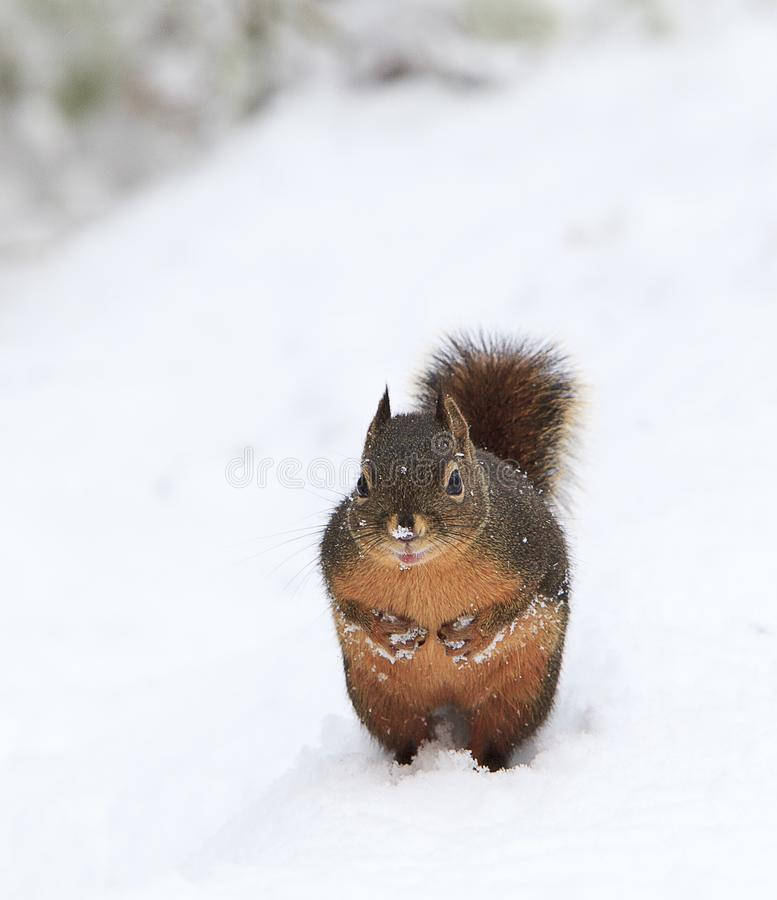 Douglas Squirrel Standing Upright in Snow. A Douglas Squirrel standing upright with his little paws filled with snow and clenched into his chest. Tamiasciurus royalty free stock photos