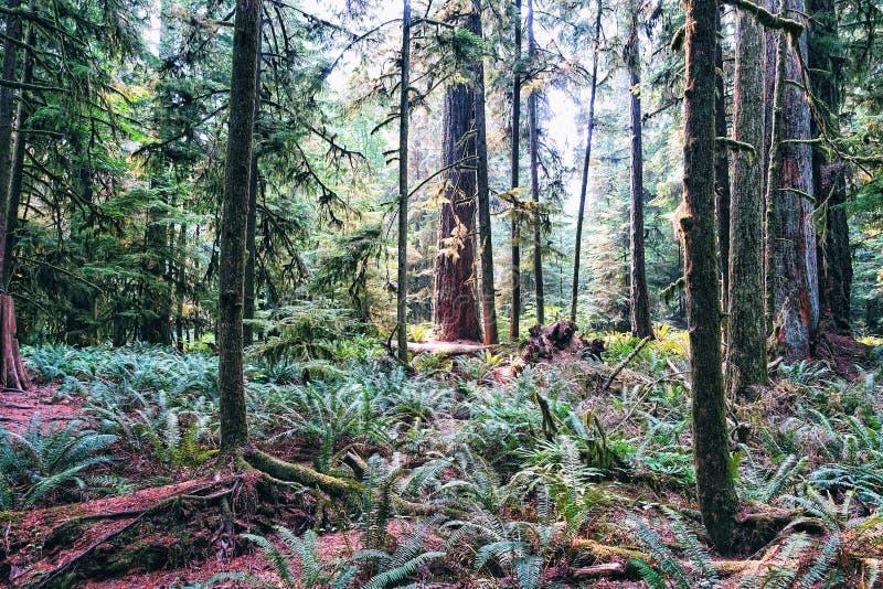 Douglas-Tannenbäume stockfotos