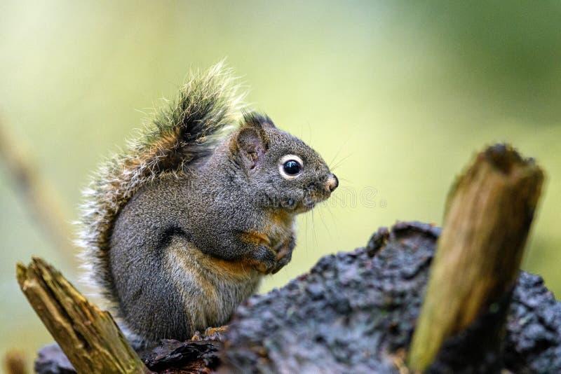 Douglasii de Tamiasciurus d'écureuil de Douglas dans les bois photos stock