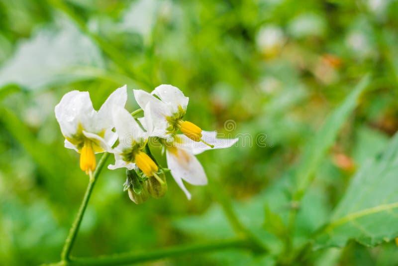Douglasii que florece en parque del condado de Edgewood, área de la Bahía de San Francisco, California de la solanácea del Nights fotografía de archivo libre de regalías