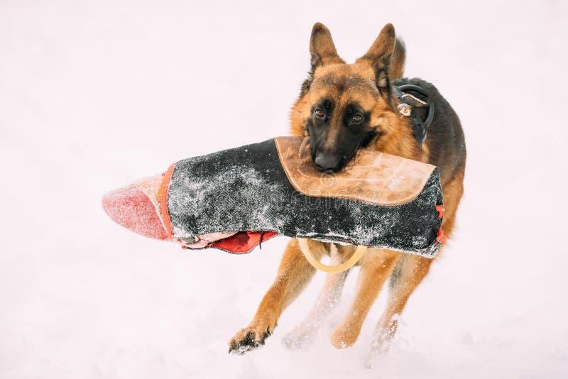 Douille de Dog Holding Training de berger allemand dans les mâchoires Formation de saison d'hiver d'Alsacien adulte de race Wolf  images stock