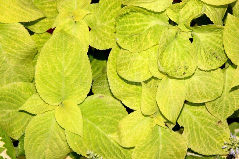 ` Dourado de Sun do feiticeiro do ` dos scutellarioides de Plectranthus fotos de stock royalty free