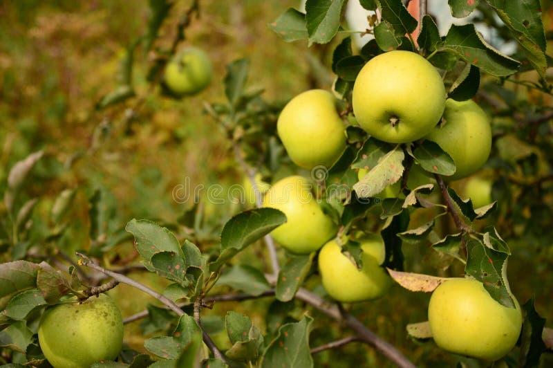 Dourado - maçãs deliciosas na árvore de maçã com fundo bonito do verão imagem de stock