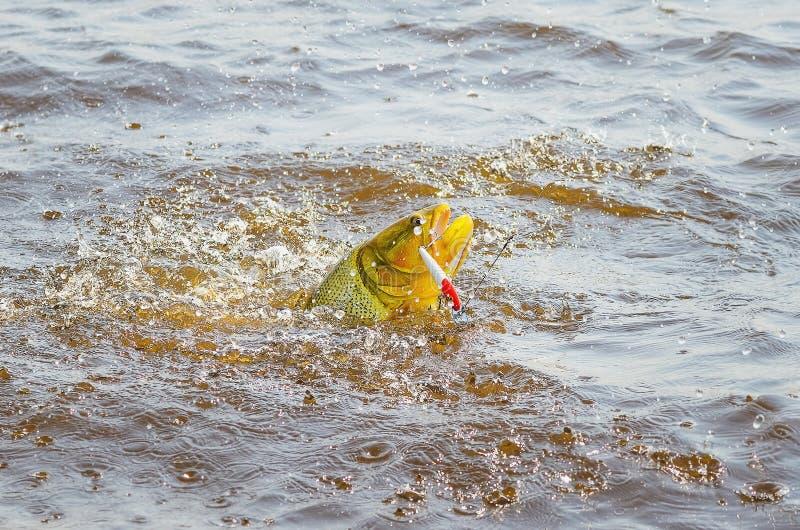 Douradovissen door een kunstmatig aas worden vastgehaakt die en ou bestrijden springen die royalty-vrije stock afbeelding