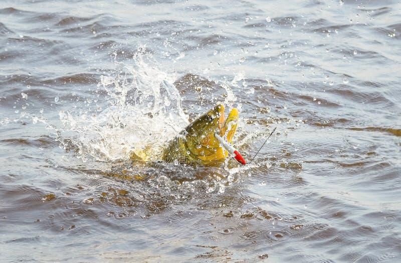 Douradovissen door een kunstmatig aas worden vastgehaakt die en ou bestrijden springen die stock fotografie