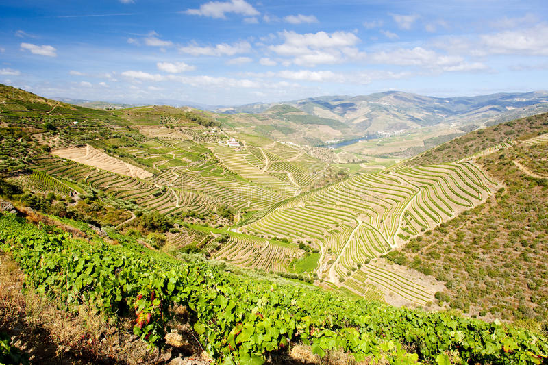 Douro Valley. Vineyars in Douro Valley, Portugal royalty free stock photos