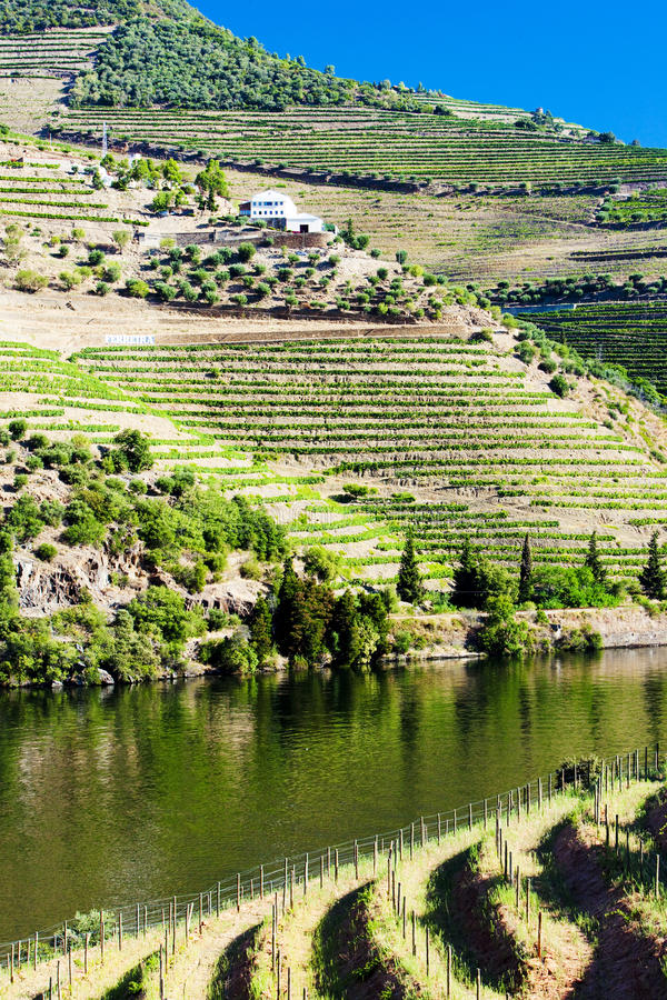 Douro Valley. Vineyars in Douro Valley, Portugal royalty free stock images