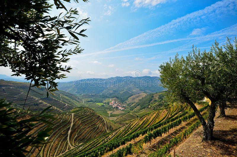 Douro Valley: Vineyards and olive trees near Pinhao, Portugal. Famous wine region in Europe royalty free stock photo