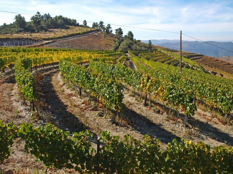 Douro winniców portowy wino Portugalia zdjęcie royalty free