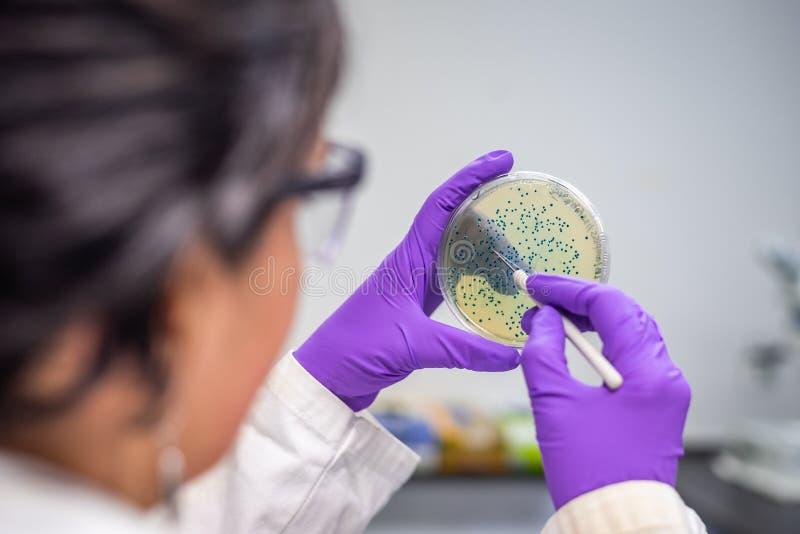 Doutor que examina a placa de cultura bacteriana meningococcal fotografia de stock