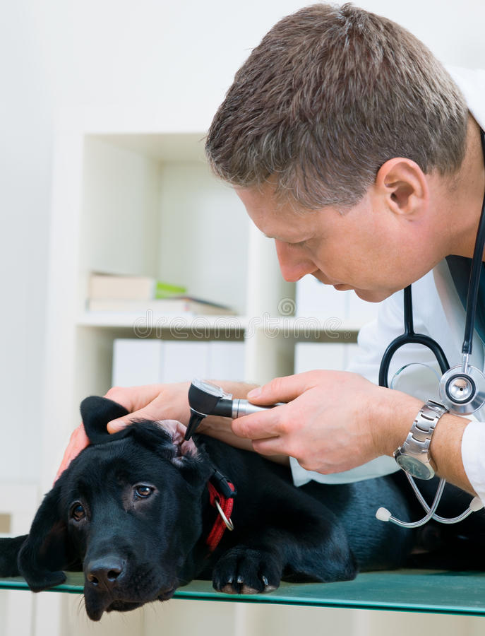 Doutor veterinário fotografia de stock