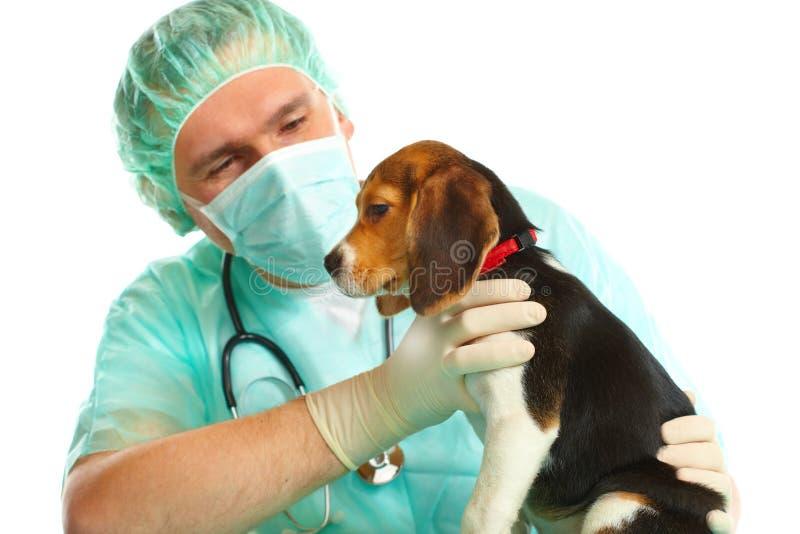 Doutor veterinário e um filhote de cachorro do lebreiro foto de stock royalty free