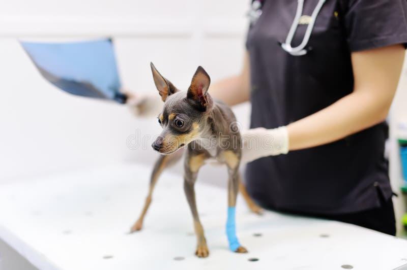 Doutor veterinário fêmea com o terrier do cão que olha o raio X durante o exame na clínica veterinária fotos de stock royalty free