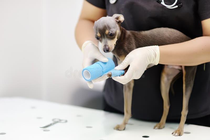 Doutor veterinário fêmea durante o exame na clínica veterinária imagens de stock royalty free