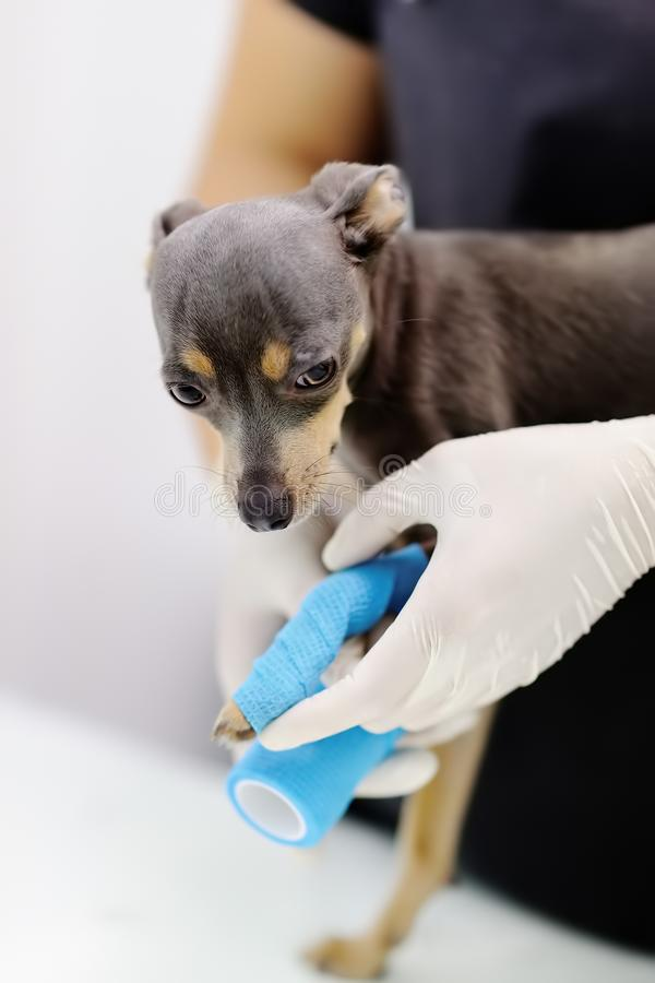 Doutor veterinário fêmea durante o exame na clínica veterinária foto de stock royalty free
