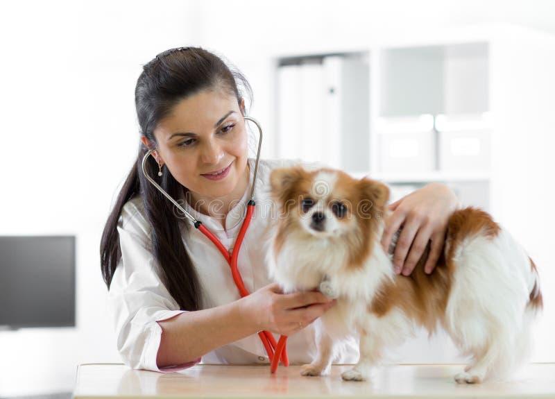 Doutor veterinário fêmea novo bonito que usa o estetoscópio que escuta a pulsação do coração de um cão canino do terrier no veter imagens de stock