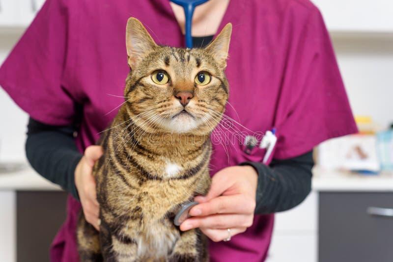 Doutor veterinário que examina um gato bonito foto de stock royalty free