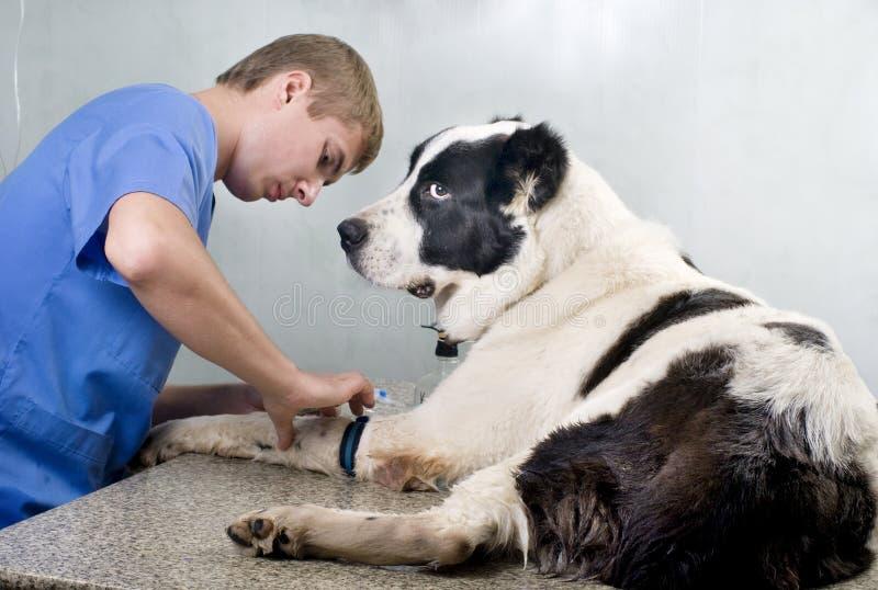 Doutor veterinário que faz um controle foto de stock royalty free