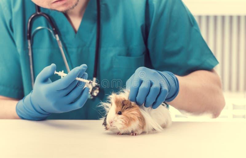 Doutor veterinário que guarda uma seringa para tratar a cobaia fotografia de stock