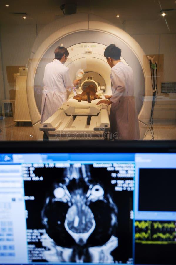 Doutor veterinário que trabalha na sala do varredor de MRI fotografia de stock royalty free