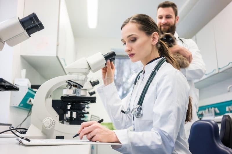 Doutores veterinários que analisam amostras de sangue de gato no microscop fotografia de stock