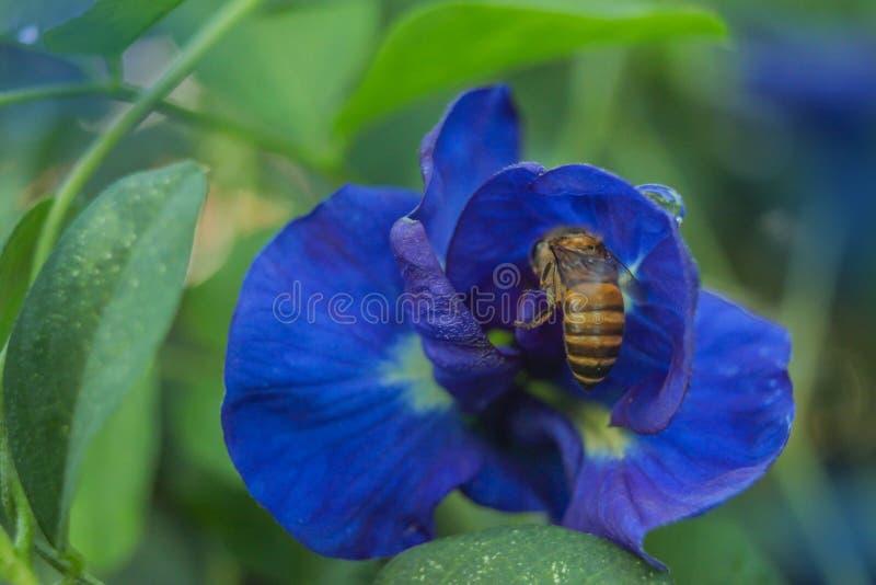 Doux abstrait brouillé et foyer mou coloré du pois bleu, pois de papillon, ternatea de Clitoria, légumineuses, Papilionoideae, Fa photos stock