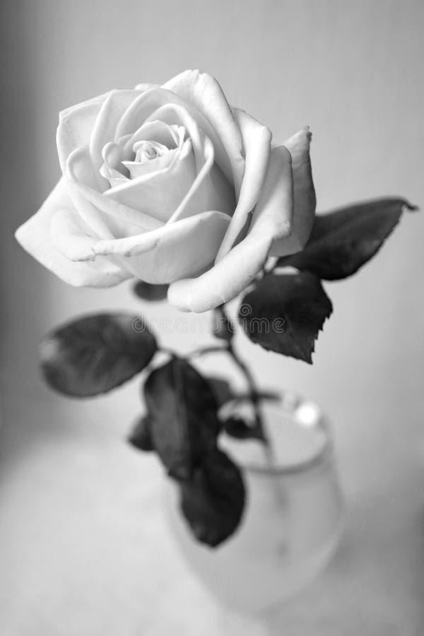 On doux s'est levé en noir et blanc monochrome de cuvette de vase image libre de droits