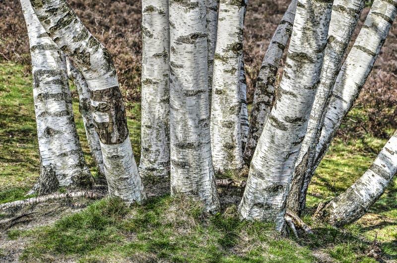 Douzaine arbres de bouleau photo stock
