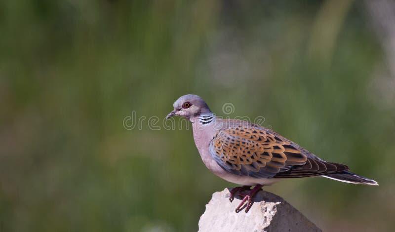 Dove черепахи стоковые фото
