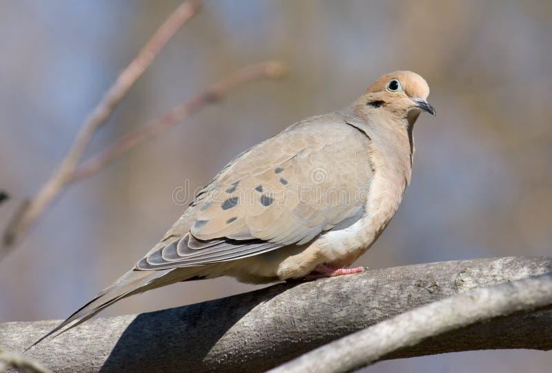 Dove stock image