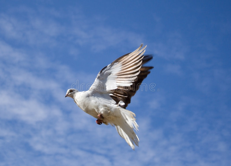 Dove. White dove fly in the blue sky with small clouds