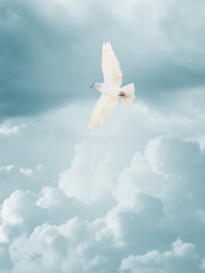 Dove. Flying in clear sky stock photography