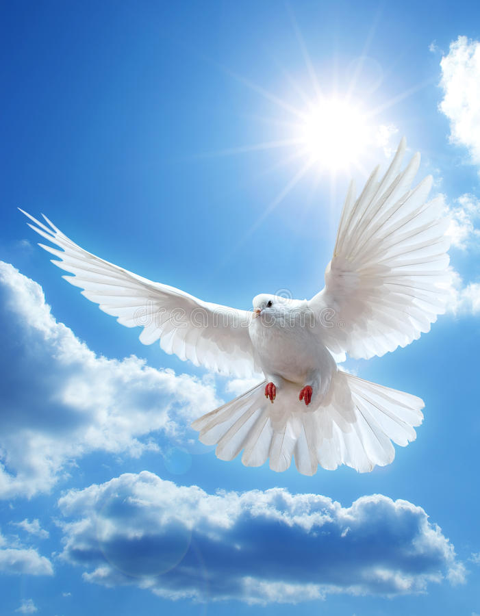 Dove in the air with wings wide open stock photos