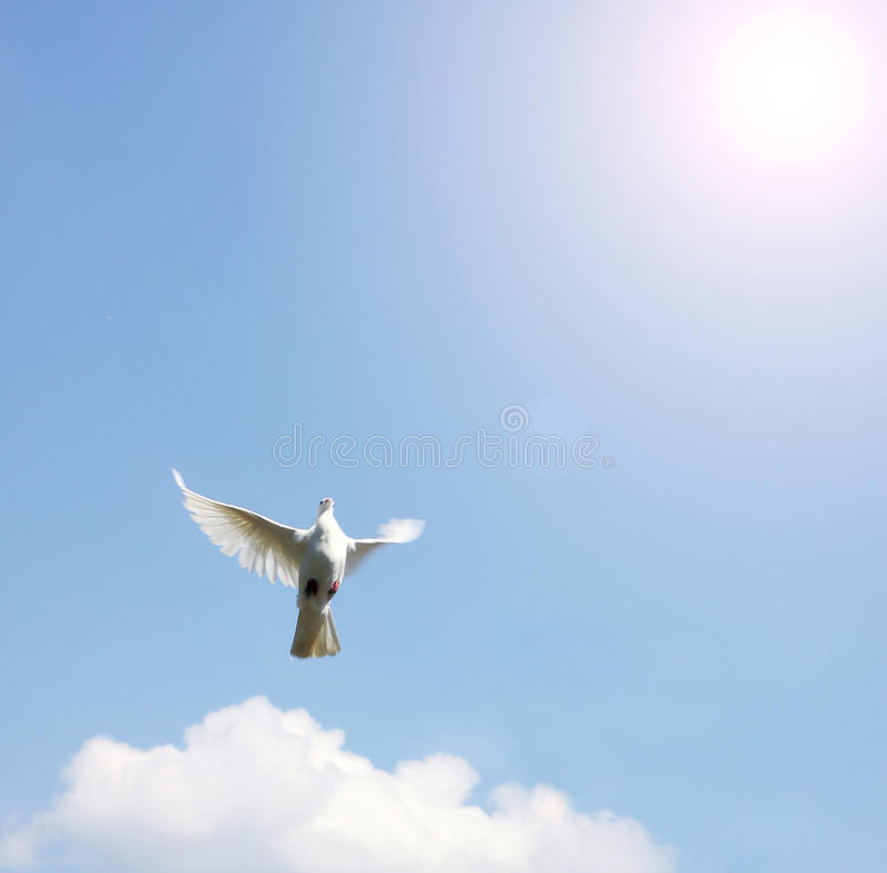 Dove in the air with wings wide open royalty free stock photos