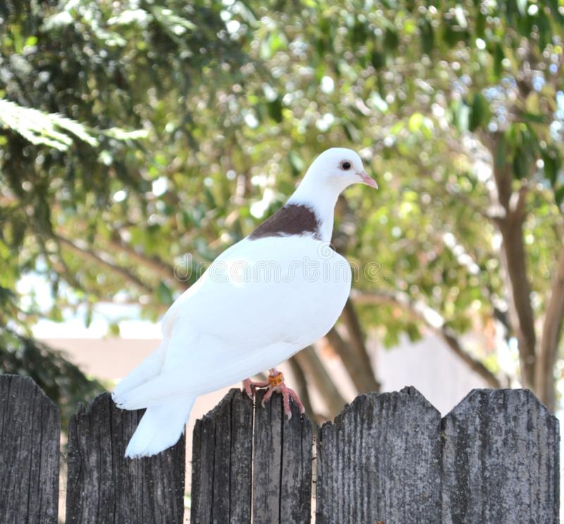 The Dove royalty free stock photography