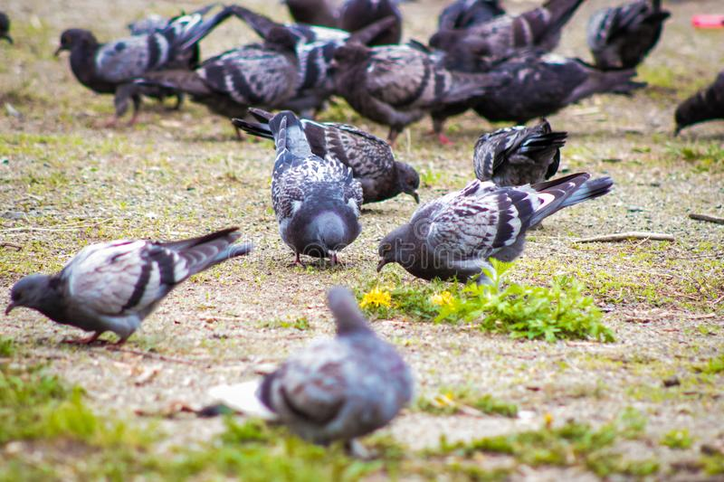 The dove is the bird of the city. A flock of pigeon birds in the city on the ground pecking food stock photo