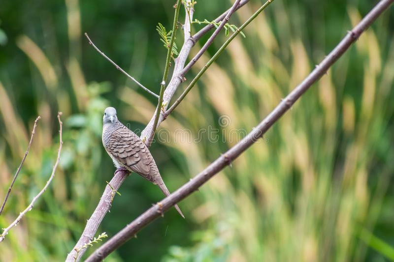 Dove-bird perched on branch. Single cute Dove-bird perched on tree trunk at park royalty free stock photo