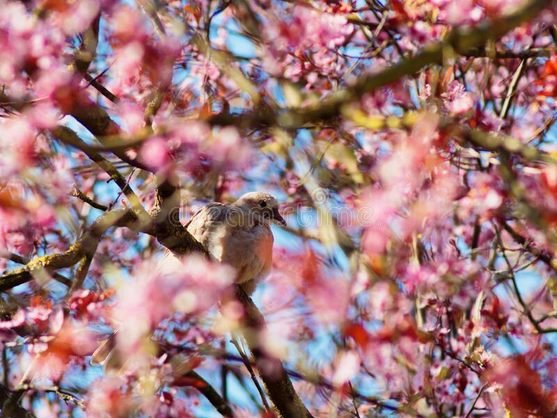 Dove in pink blossoming cherry tree canopy spring season nature. Hope. The blurred pink blossoms of a cherry tree set against a blue sky. Focus on a dove sitting stock images