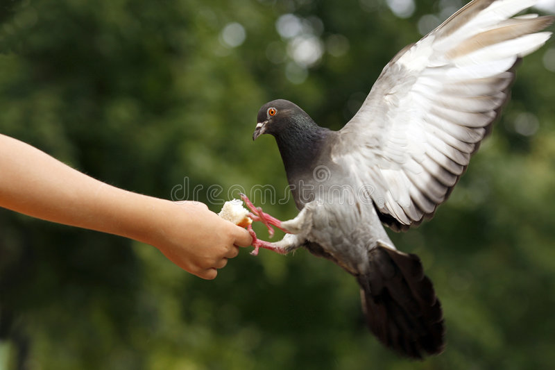 Dove on the child hand royalty free stock photography