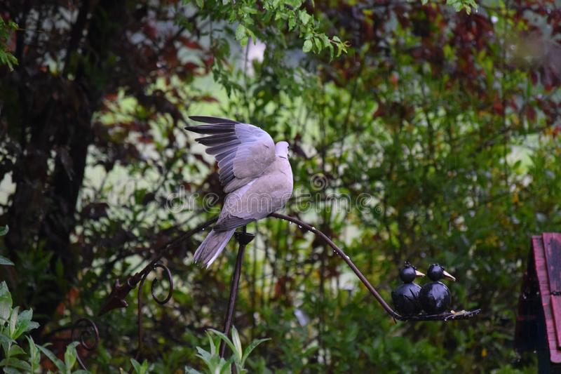 Dove cleans her Plumage in the Rain. Single Dove cleans her Plumage in the Rain royalty free stock photo