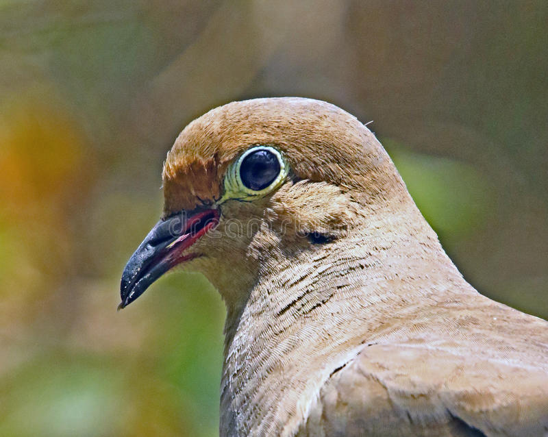 Dove. Close Up Head Portrait Of Mourning Dove royalty free stock images