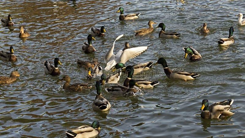 The dove among ducks. Dinner time on Titan Lake stock photography