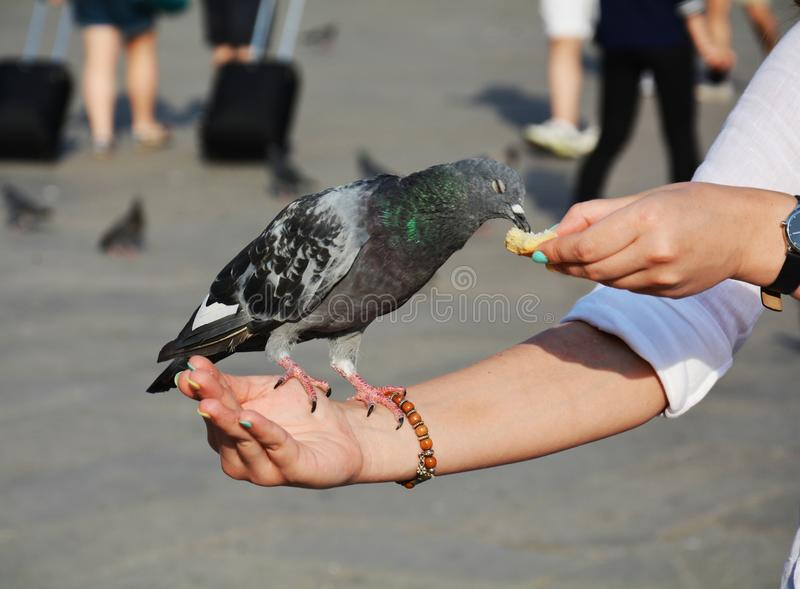 Dove eating, in St. Mark's Square, Venice royalty free stock image