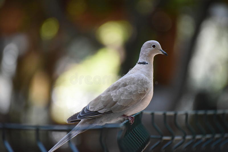 The dove on the fence stock photo