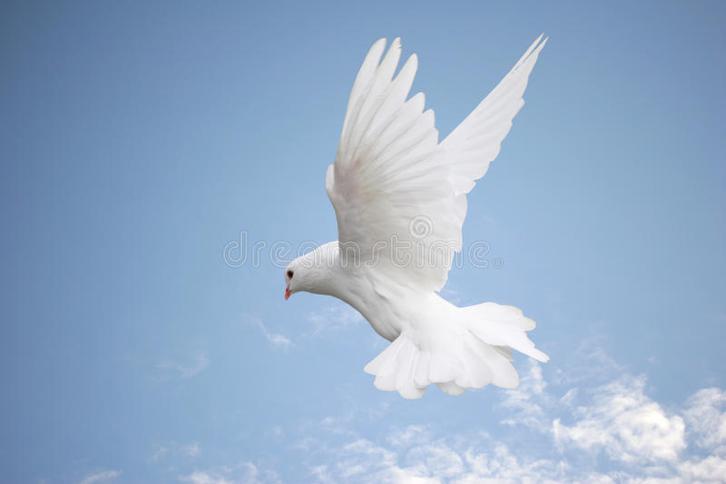 Download Dove in flight stock image. Image of flight, high, wings - 16757855
