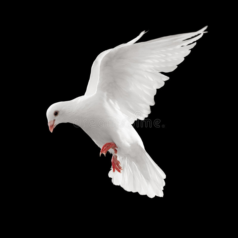 Dove in flight. Dove looks down while flying, isolated on black