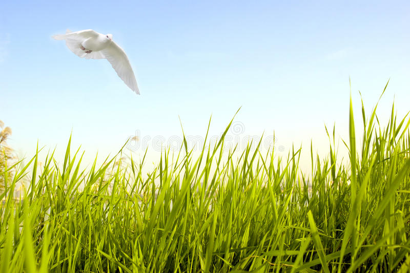 Download Dove fly over green grass stock photo. Image of feather - 12537372