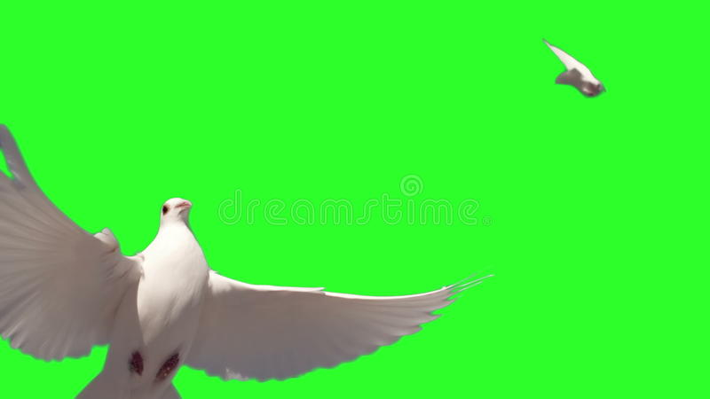 Dove flying on green screen background