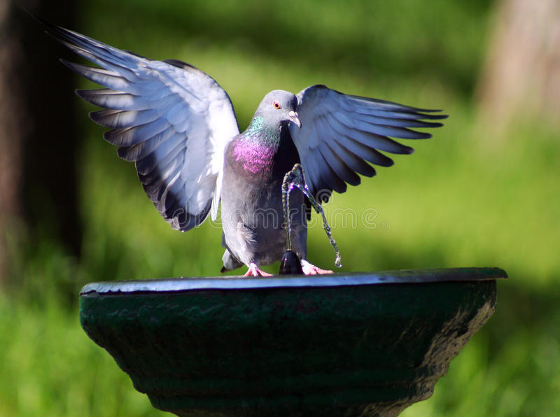 Dove in the fountain stock photography