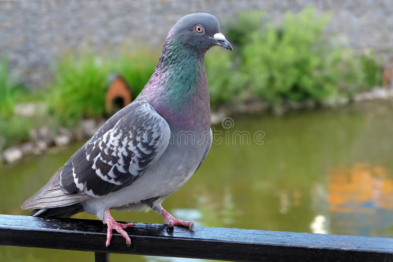 Dove grey. Beautiful pigeon close up. City birds. Pigeons of the Church. The bird view. Dove grey. Beautiful pigeon close up. City birds. Pigeons of the Church royalty free stock photography